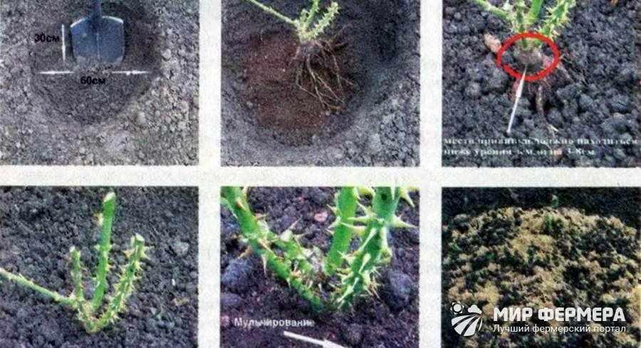 Как посадить парковую розу