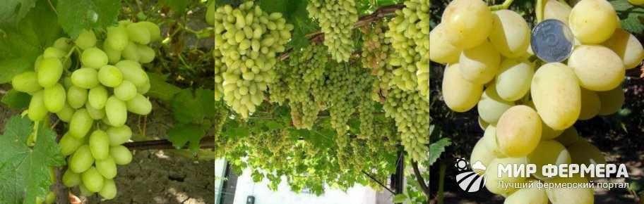 Виноград Ландыш урожайность