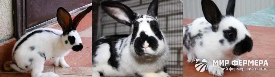 Кролик Бабочка описание и фото
