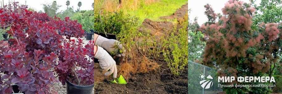 Как посадить скумпию