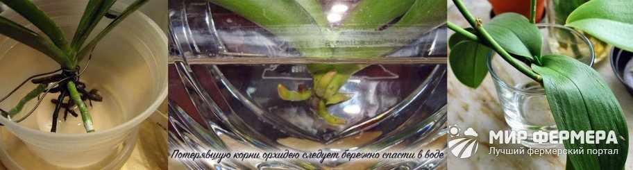 Как укоренить орхидею без корней