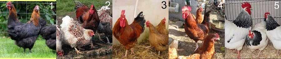 Куры мясо-яичных пород