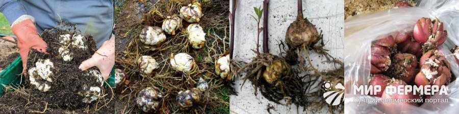 Как хранить луковицы лилий
