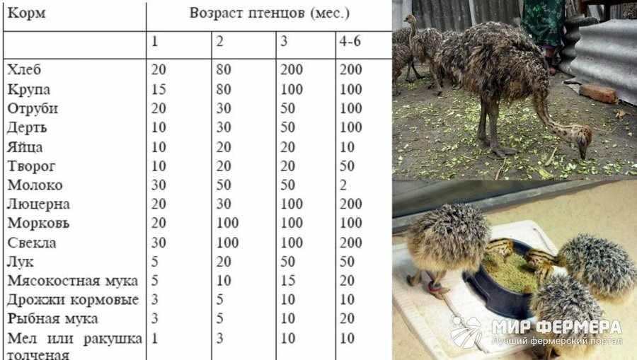Чем кормить птенцов страуса