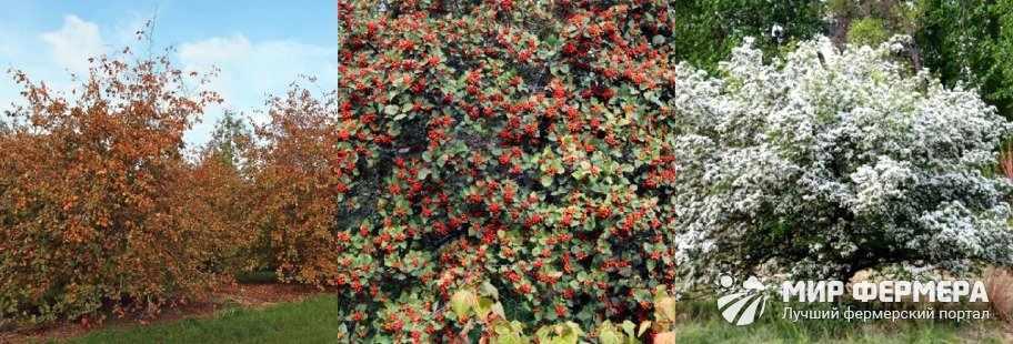 Сорта боярышника
