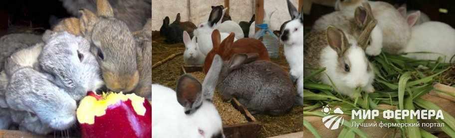 Чем кормить кроликов зимой