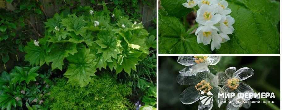 Хрустальный цветок двулистник Грея