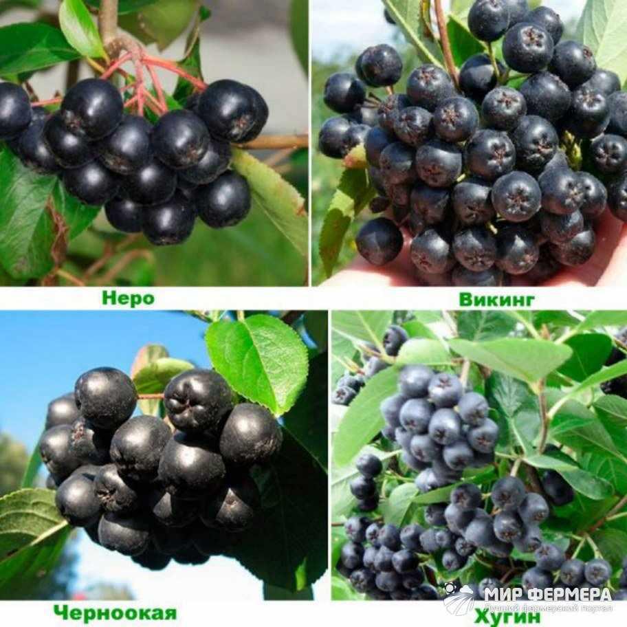 Сорта черноплодной рябины
