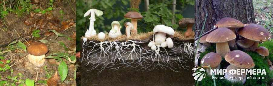 Как вырастить белые грибы из грибницы