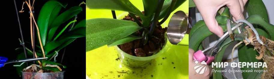 Уход за орхидеей после цветения