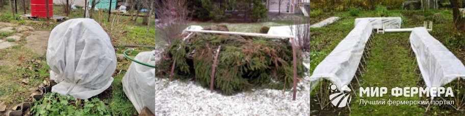 Укрытие голубики на зиму