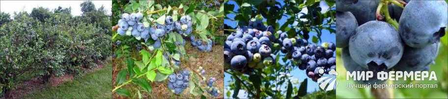 Голубика Блюкроп фото и описание