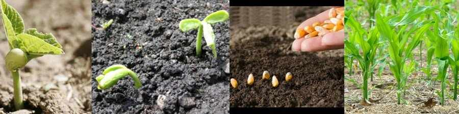 Выращивание бобовых в открытом грунте