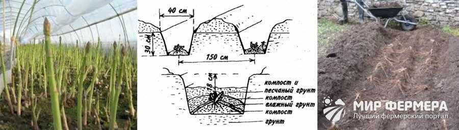 Как посадить спаржу в грунт