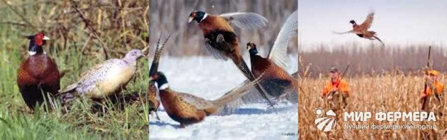 Разведение фазанов для охоты