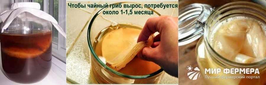 Чайный гриб как хранить