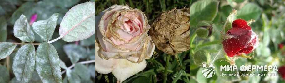 Болезни розы Кордана
