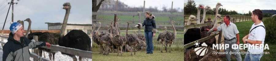 Лечение болезней страусов