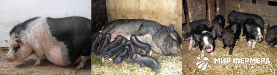 Выращивание вьетнамских свиней