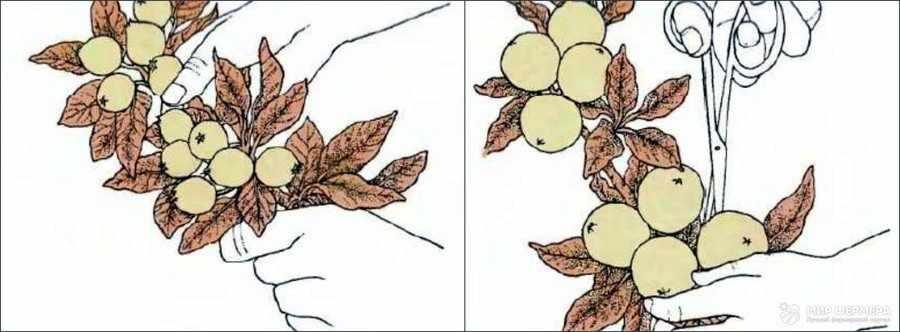 Ручное прореживание плодов груши