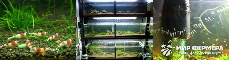 Разведение креветок в аквариуме