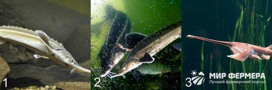 Осетровые рыбы для домашнего пруда