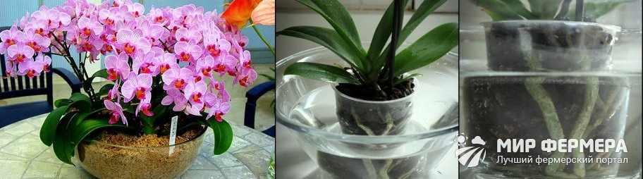 Как подкормить орхидею
