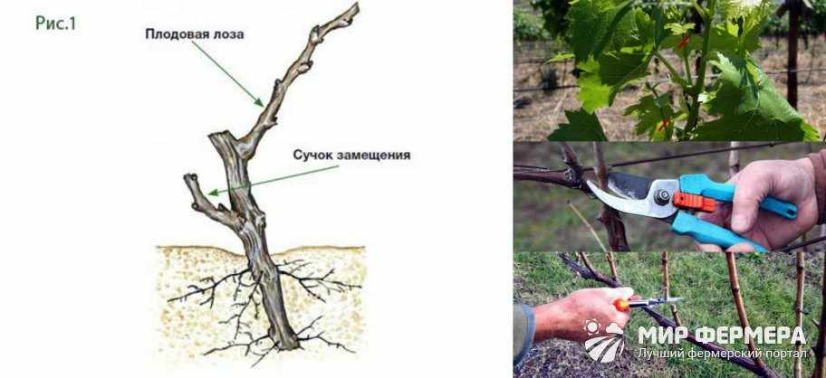 Виноград Анюта обрезка