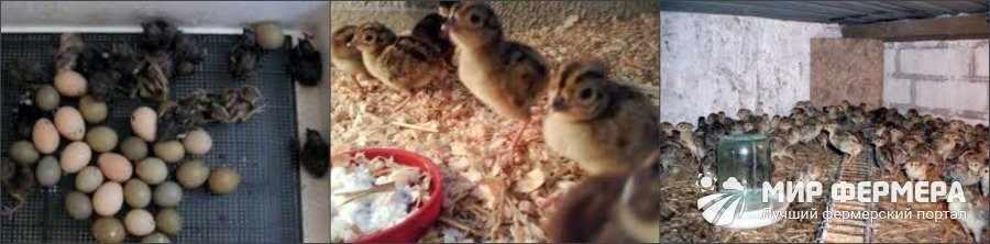 Особенности содержания птенцов фазанов