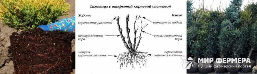 Как выбрать саженцы хвойных деревьев