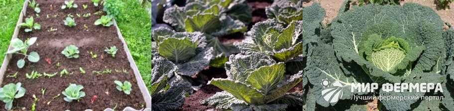 Как выращивать савойскую капусту