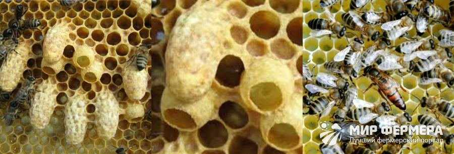 Вывод пчелиных маток в домашних условиях