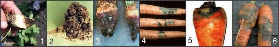 Болезни моркови и свеклы