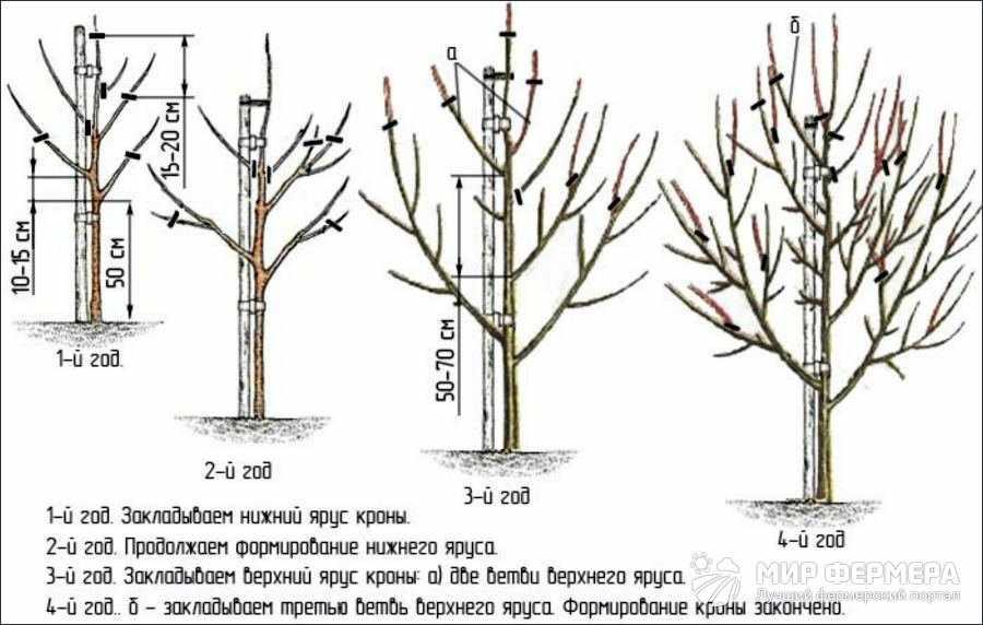Обрезка груши инструкция и схема