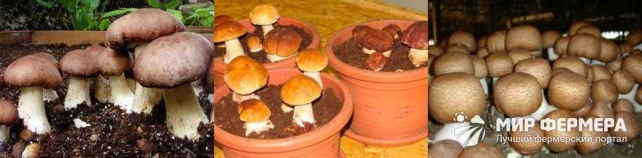 Как вырастить белые грибы в погребе