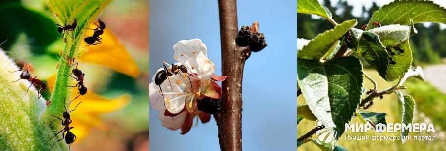 Вред муравьев в огороде