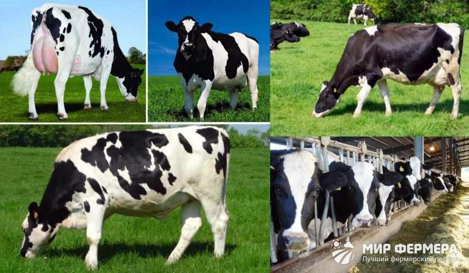 Кормление голштинских коров