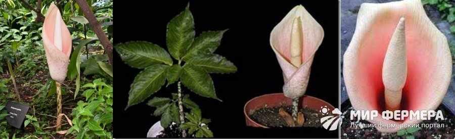 Аморфофаллус луковиценосный фото и описание