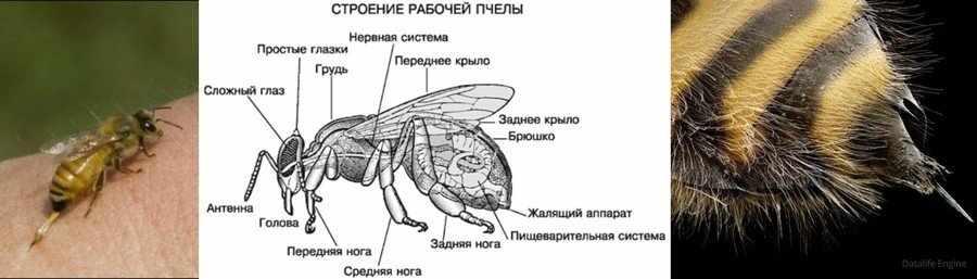 Как образуется пчелиный яд
