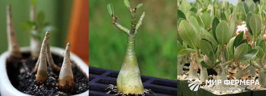 Как размножается адениум