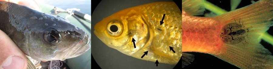 Аргулез аквариумных рыб
