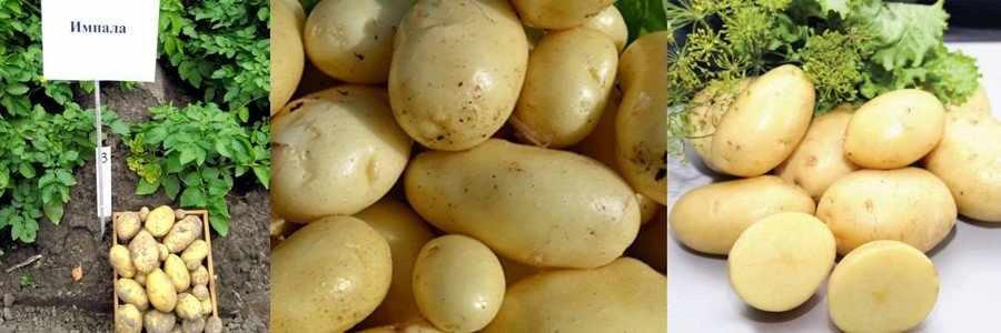 Картошка Импала сорт