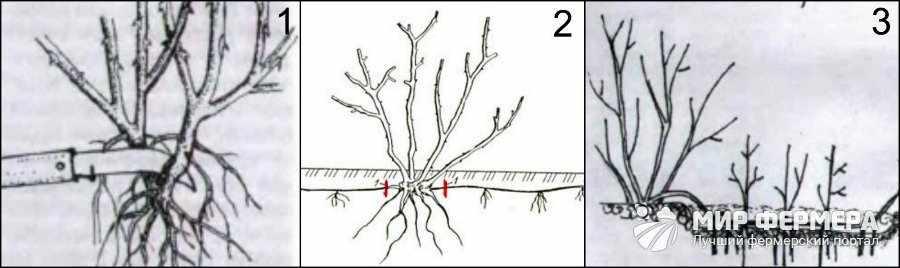 Как размножают розы