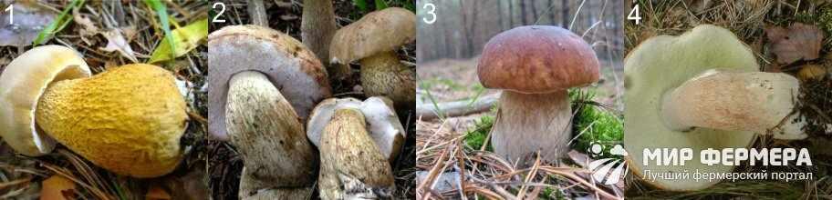Как отличит белый гриб от ядовитого