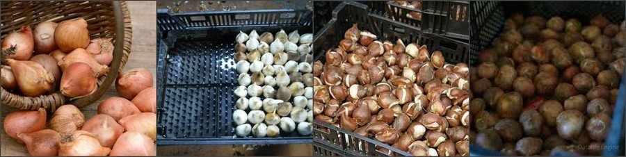 Как хранить луковицы тюльпанов для выгонки