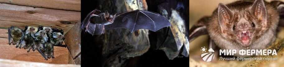 Чем опасны летучие мыши