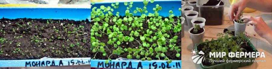 Размножение монарды семенами