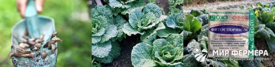 Болезни савойской капусты