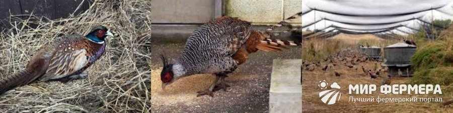 Профилактика болезней у фазанов