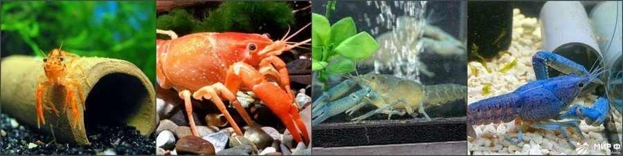 Как содержать рака в аквариуме